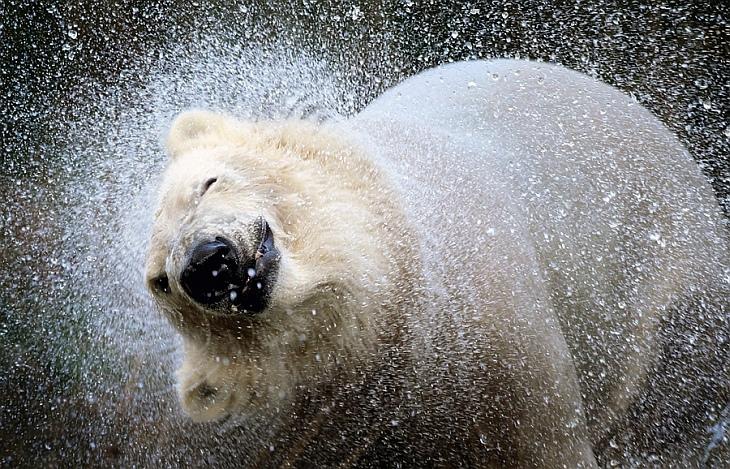 В Парке дикой природы Хайленд появился новый 3-месячный белый медведь Уокер