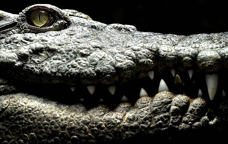 Сиамский пресноводный крокодил