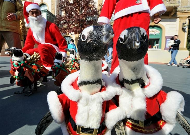 Пингвинов одели в костюмы Санта Клауса