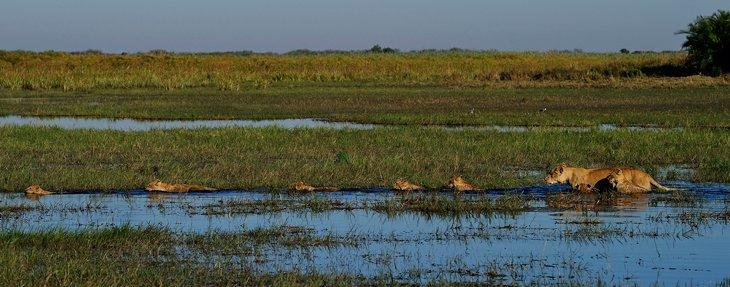 Дикая Африка — остров, где львы охотятся только днем