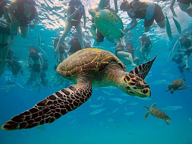 Морская черепаха, Барбадос