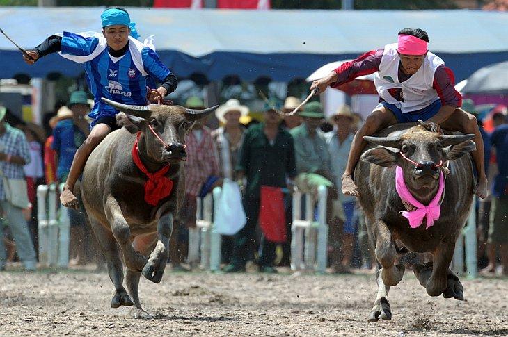 Тайские фермеры едут на буйволах во время фестиваля в провинции Чонбури, Таиланд
