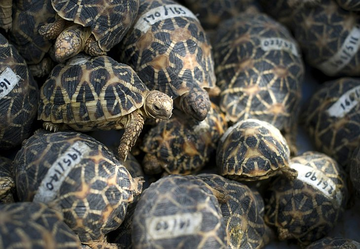 Звёздчатые черепахи
