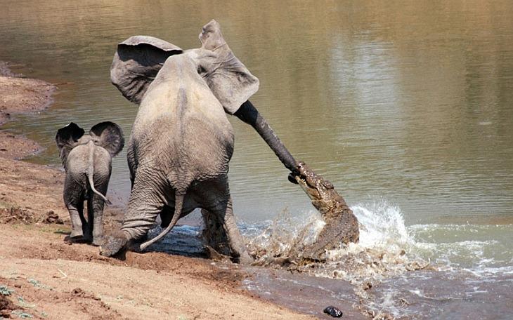 Уникальный репортаж: бой слона с крокодилом