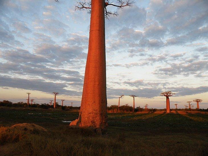 Баобаб — дерево, растущее вверх ногами