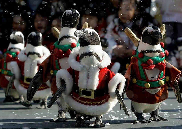 Пингвины, одетые в костюмы Санта-Клауса