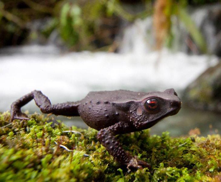 Грасноглазая лягушка
