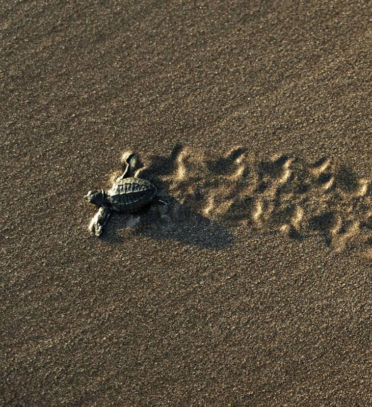 Маленькая морская черепашка