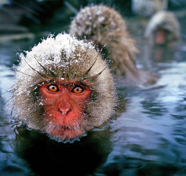 Японские дикие обезьянки