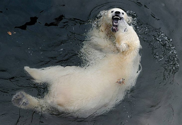Белыу медведи