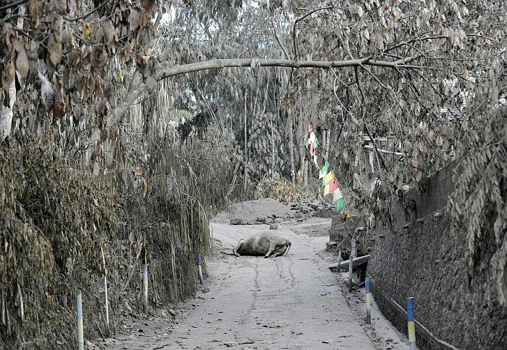 Мертвая корова лежит на алее деревни Калиадем