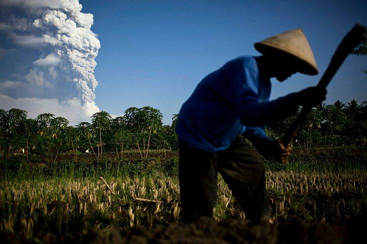 Фермер стоит на рисовом поле на фоне извергающегося вулкана Мерапи