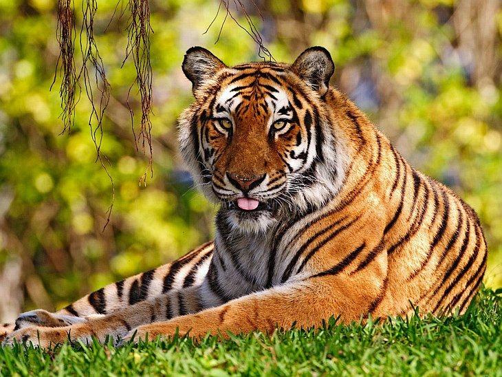 Представительная делегация собралась в Санкт-Петербурге, чтобы принять решения, необходимые для сохранения тигра и удвоения его численности к 2022 году