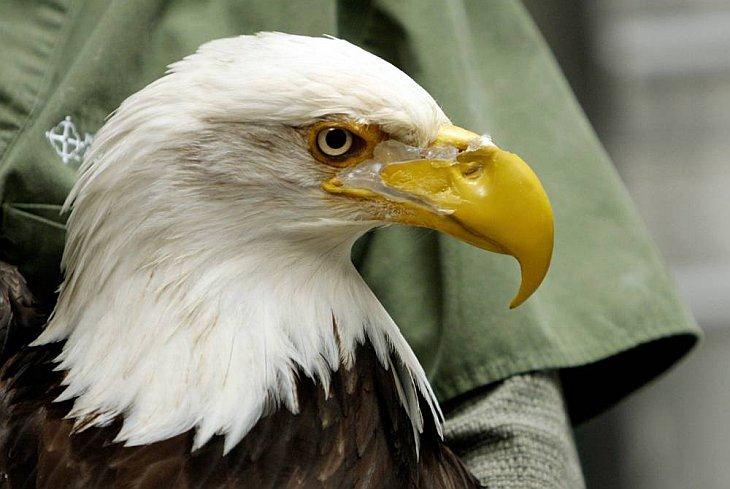 Бионический протез для орла