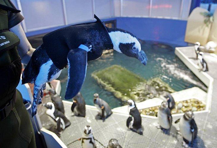 26-летний африканский пингвин Пьер из Калифорнийской Академии Наук потерял свои перья