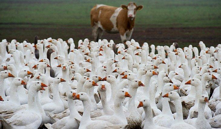 Стая гусей шагает по ферме в Германии