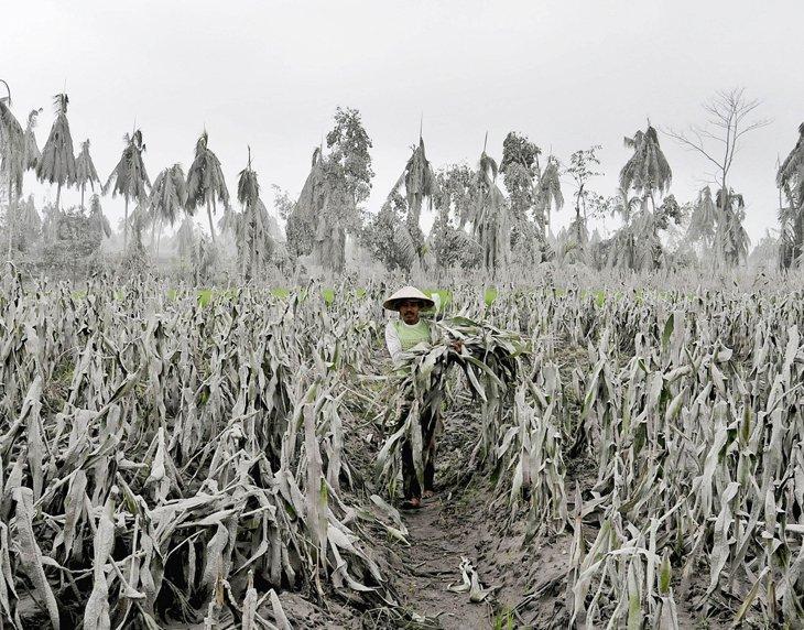 Фермер на кукурузном поле, покрытом пеплом от вулкана Мерапи