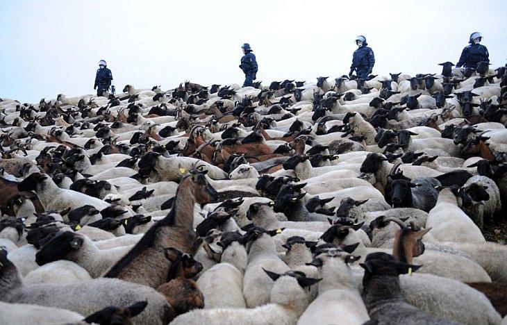 Полиция прогоняет овец и коз, которые блокировали путь для транспорта с ядерными отходами