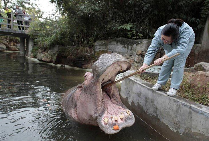 Смотритель за животными чистит зубы бегемоту в зоопарке Шанхая