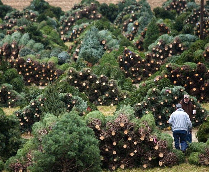 Крупнейший национальный американский аукцион новогодних елок и деревье