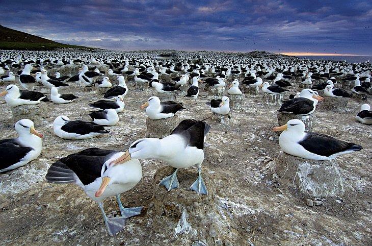 Чернобровые альбатросы