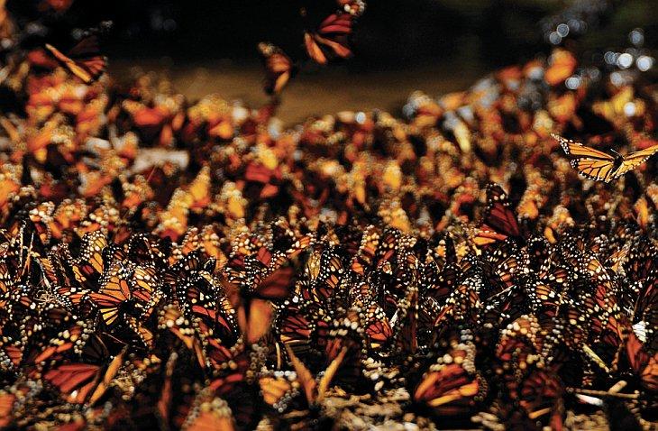 Бабочки Монарха