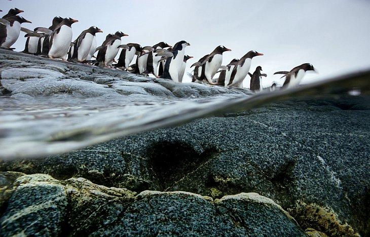 Пингвины Генту