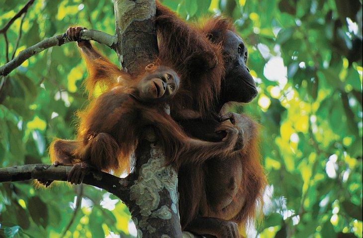 Самка орангутанга с Борнео