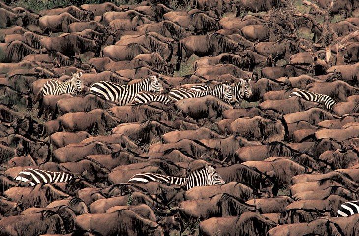 Равнинные зебры