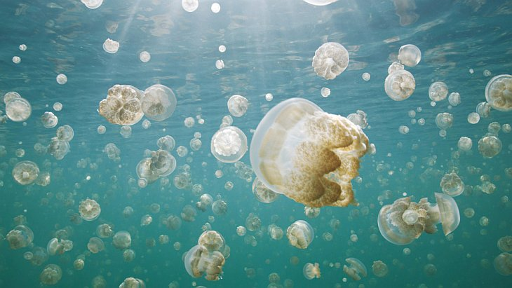 Золотая медуза Палау