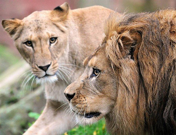 Львица Бинта и лев Чалид в зоопарке Ганновера
