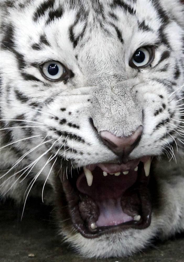 Белый бенгальскиый тигр