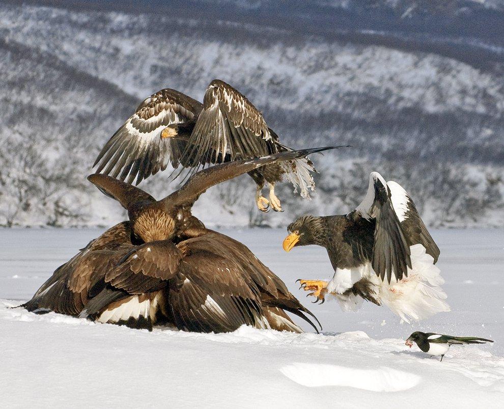 Белоплечие орланы