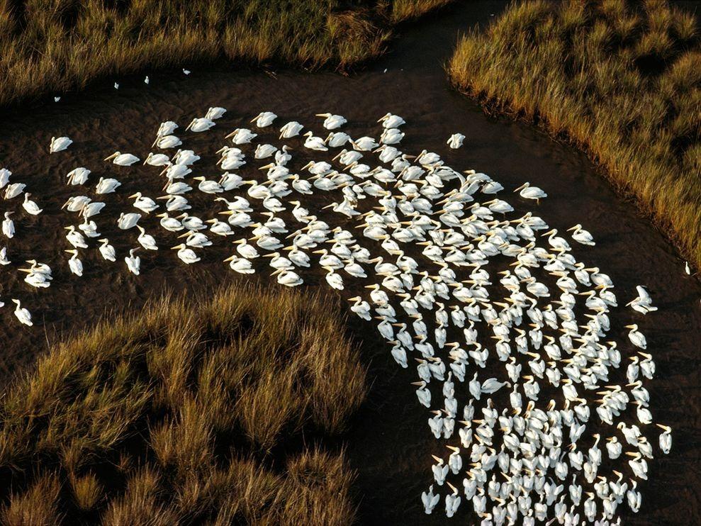 Белые пеликаны