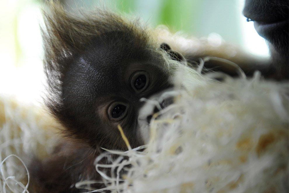 Малыш орангутанга