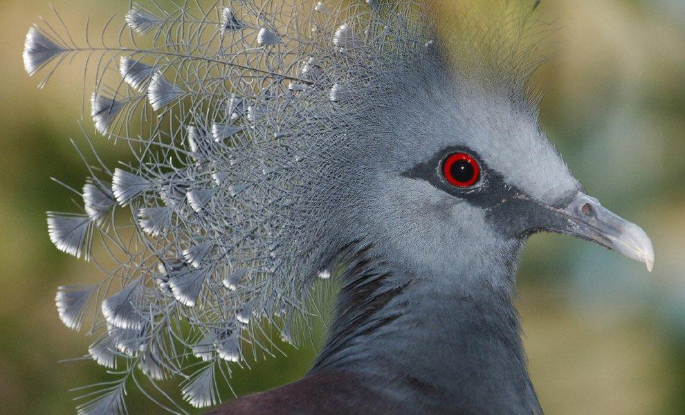 Веероносный (венценосный) голубь Виктории