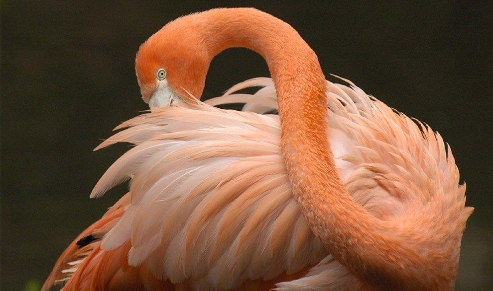 Чилийский розовый фламинго