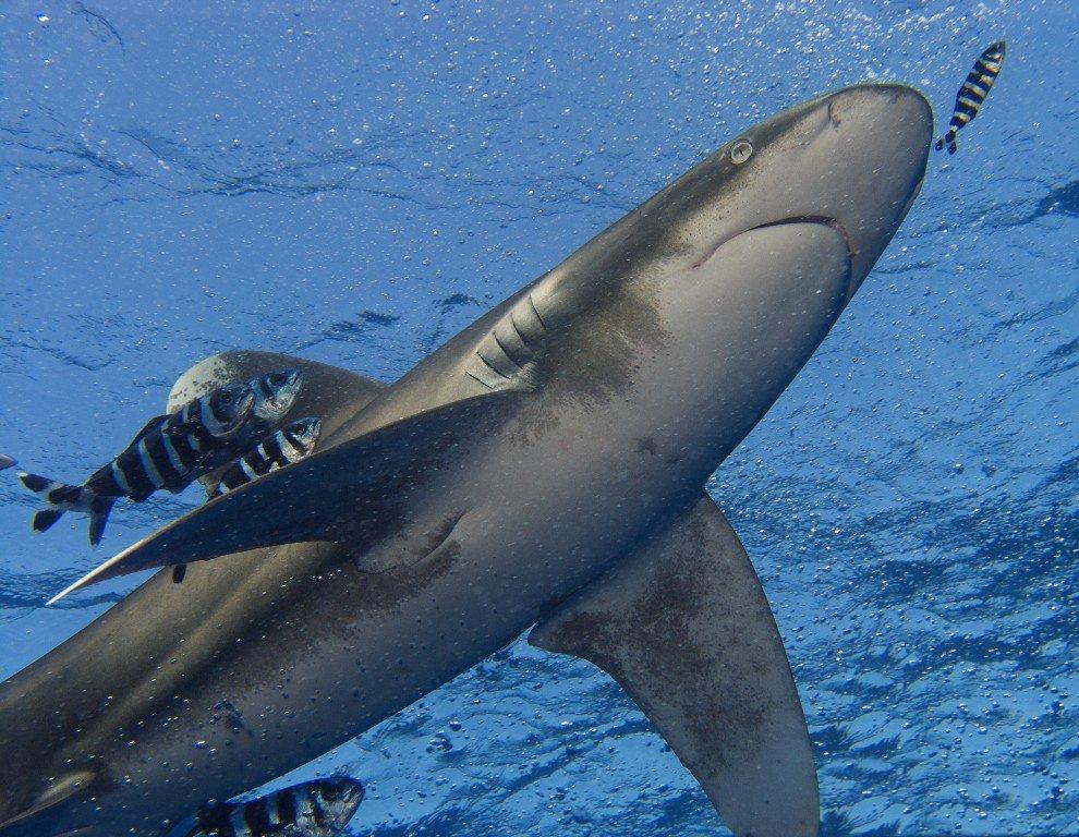 Белоперая длиннокрылая океаническая акула Carcharhinus longimanus