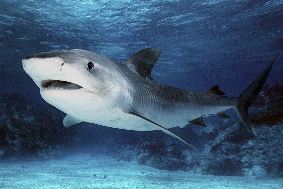 Тигровая акула Galeocerdo cuvier