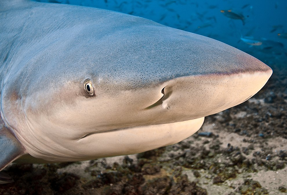 Бычья акула Carcharhinus leucas