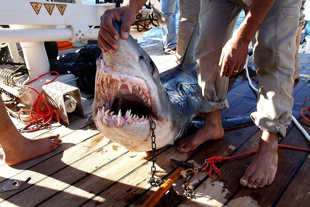 Акула мако обыкновенная