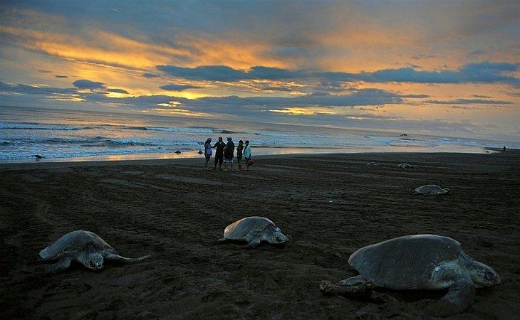 Оливковые морские черепахи