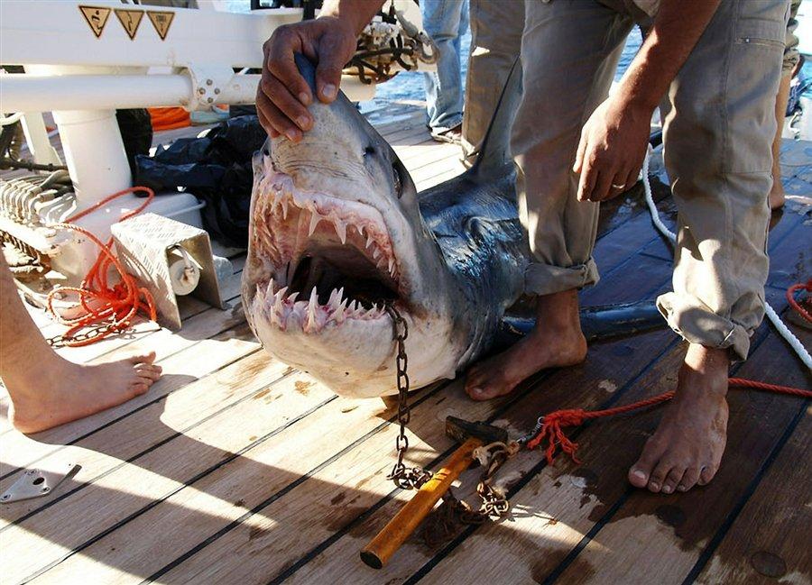 Акула из Египта