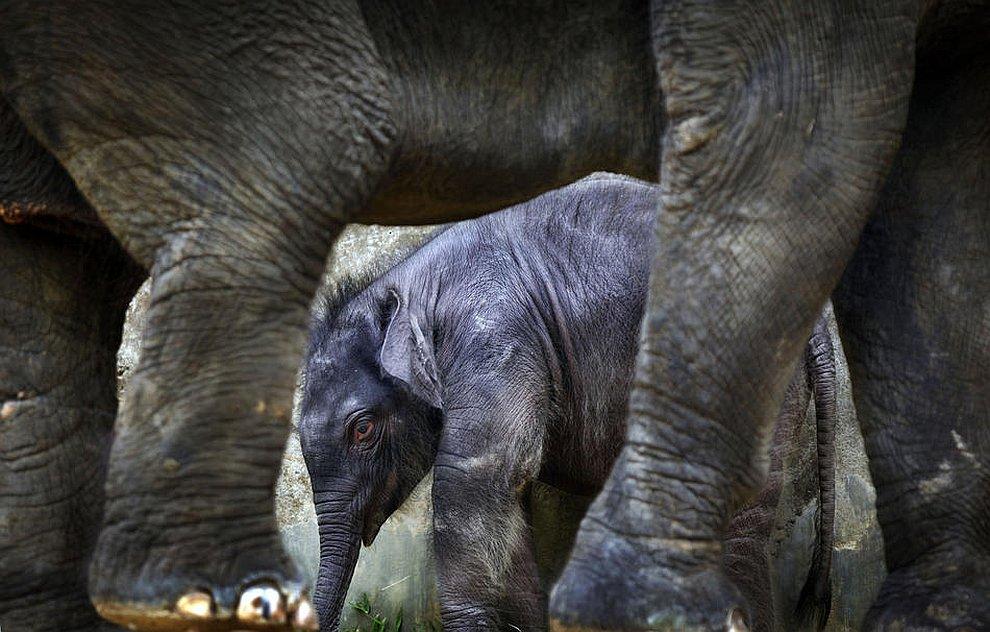 2-недельный слоненок рядом со своей 25-летней матерью в ночном сафари-зоопарке Сингапура