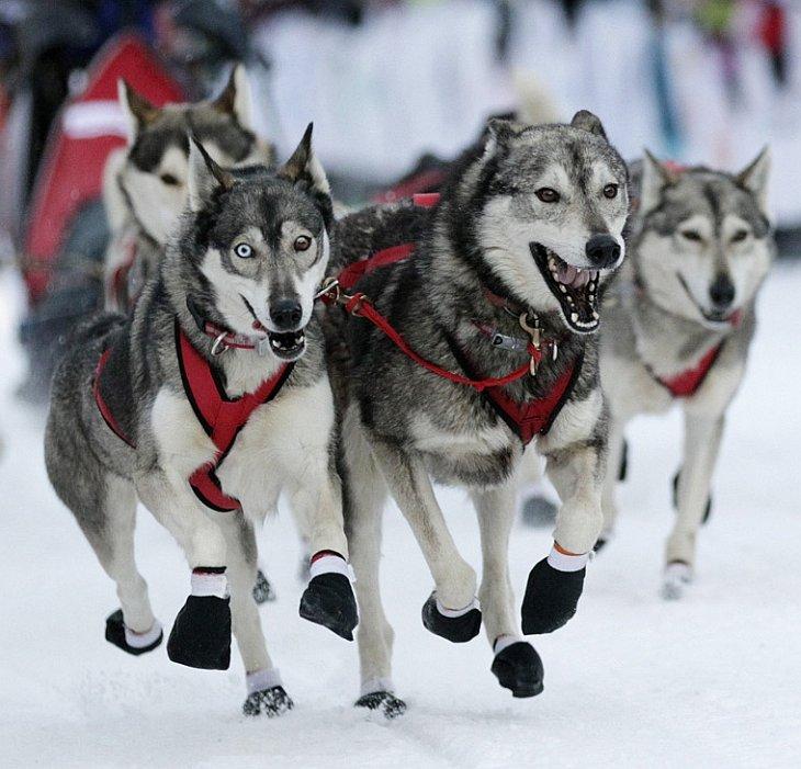 Гонка на собачьих упряжках «Большая Одиссея»