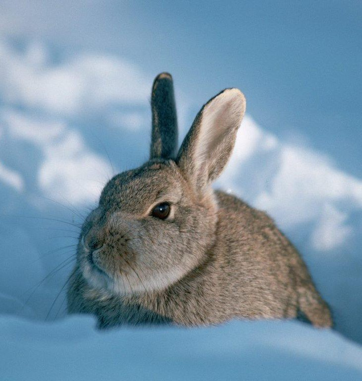 Несколько слов о зайце — символе 2011 года