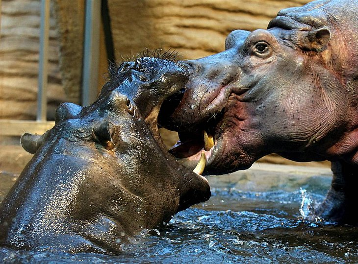 Бегемоты