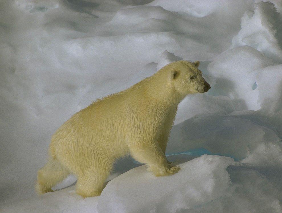 Белый медведь недалеко от архипелага Шпицберген