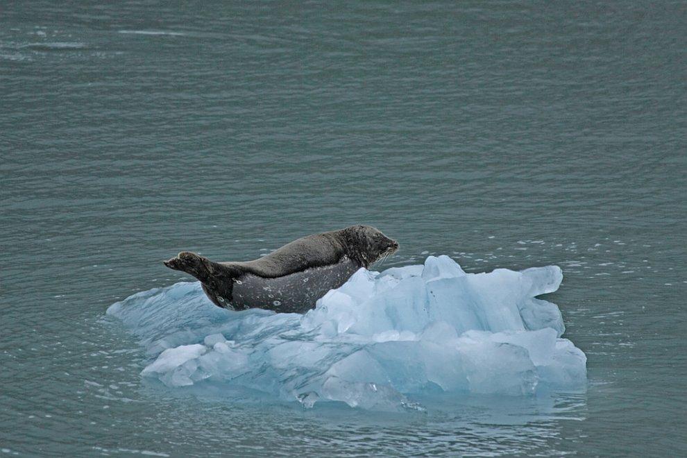 Тюлень на айсберге на Аляске