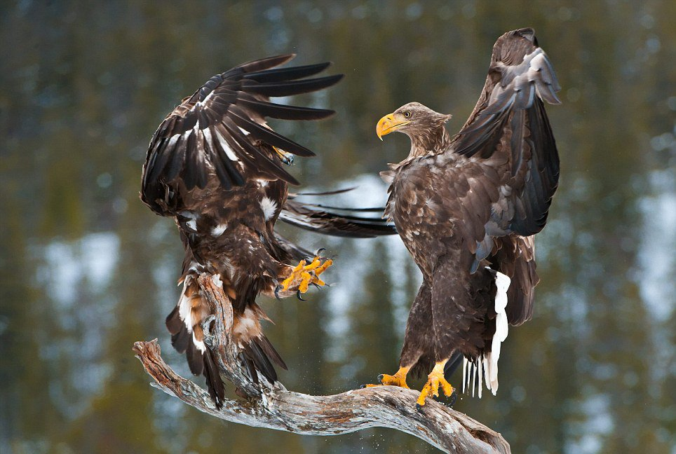 Орлан-белохвост и беркут